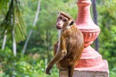 Affe ist im alten buddhistischen Tempel in Mulkirigala, Sri Lan Stockfotografie