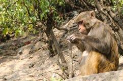 Affe ist im Baum, Tempel Live Stockfoto