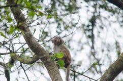 Affe ist im Baum, Tempel Live Stockfotografie