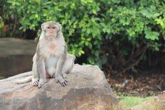 Affe ist im Park bei Thailand Stockbilder