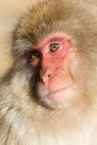 Affe in Japan Lizenzfreie Stockfotografie