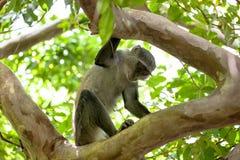 Affe in Jozani-Wald, Sansibar Stockbilder