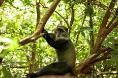 Affe in Jozani-Wald, Sansibar Lizenzfreie Stockbilder
