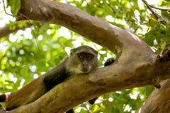 Affe in Jozani-Wald, Sansibar Stockbild