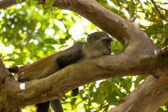 Affe in Jozani-Wald, Sansibar Lizenzfreie Stockfotos