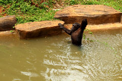 Affe-König versucht, Snack zu haften Stockfotos