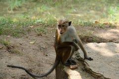 Affe so kühl in seinem Felsen im Dschungel, Sri Lanka, Asien stockbilder
