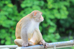 Affe in Kam Shan Country Park, Kowloon Stockbilder