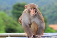 Affe in Kam Shan Country Park, Kowloon Lizenzfreie Stockbilder