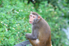 Affe in Kam Shan Country Park, Kowloon Lizenzfreies Stockfoto
