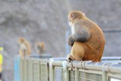 Affe in Kam Shan Country Park, Kowloon Stockbild