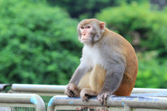 Affe in Kam Shan Country Park, Kowloon Stockfoto