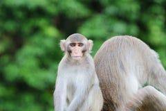 Affe in Kam Shan Country Park, Kowloon Lizenzfreies Stockfoto