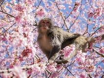 Affe am Kirschblüte-Baum Lizenzfreie Stockfotos