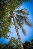Affe klettert auf einem Baum, um Ernte von cocoes zu ernten Lizenzfreie Stockbilder