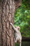 Affe klettert einen Baum; Stockbild
