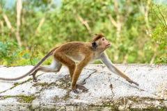 Affe läuft auf dem alten buddhistischen Tempel in Mulkirigala, Sri L Lizenzfreie Stockbilder
