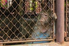 Affe-langschwänziger Makaken Stockbild