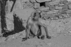 Affe (Langur) Lizenzfreies Stockbild