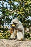 Affe Langur isst Banane Lizenzfreie Stockfotografie
