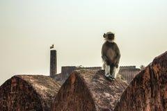 Affe Langur sitzt am Rand der Festungswand Lizenzfreies Stockfoto