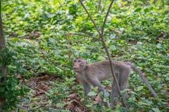 Affe leben in der Natur Stockfotografie