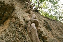 Affe-Leiterlianen im tropischen Regenwald Lizenzfreie Stockfotografie