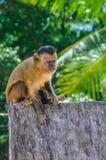 Affe in Lencois Maranheses, Brasilien Lizenzfreies Stockfoto