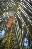 Affe in Lencois Maranheses, Brasilien Stockfotos