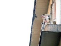Affe in Lop- Buriprovinz Stockfotos