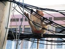 Affe in Lop- Buriprovinz Lizenzfreie Stockfotografie