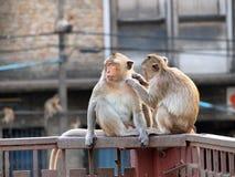Affe in Lop- Buriprovinz Lizenzfreies Stockfoto