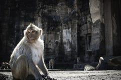 Affe in Lopburi Lizenzfreies Stockbild