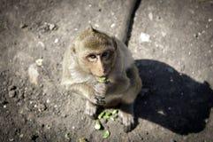 Affe in Lopburi Lizenzfreie Stockfotografie