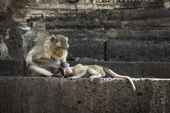 Affe in Lopburi Stockbild