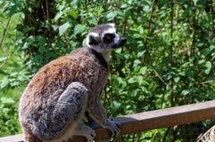Affe mögen das Geschöpf, das auf dem Zaun sitzt Lizenzfreie Stockbilder