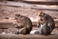 Affe (Macaca fascicularis). Stockfoto
