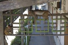 Affe (Makaken) Lizenzfreie Stockfotografie