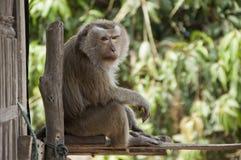 Affe-Makaken Lizenzfreie Stockbilder