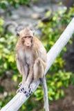 Affe (Makaken Krabbe-essend) Lizenzfreies Stockbild