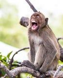 Affe (Makaken Krabbe-essend) Lizenzfreie Stockbilder