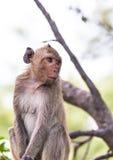 Affe (Makaken Krabbe-essend) Lizenzfreie Stockfotografie