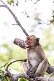 Affe (Makaken Krabbe-essend) Stockbilder