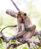 Affe (Makaken Krabbe-essend) Lizenzfreies Stockfoto