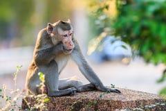 Affe (Makaken Krabbe-essend) Lizenzfreie Stockfotos