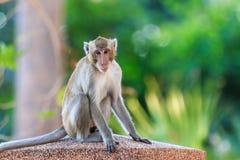 Affe (Makaken Krabbe-essend) Stockfotografie