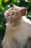 Affe, Makaken Krabbe-essend Stockfotografie