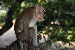 Affe-Makaken, Railay, Krabi, Thailand Stockfotografie