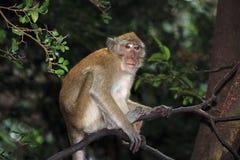 Affe-Makaken, Railay, Krabi, Thailand Stockbild