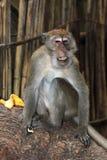 Affe-Makaken, Railay, Krabi, Thailand Stockbilder